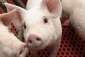 豚の画像 p1_3